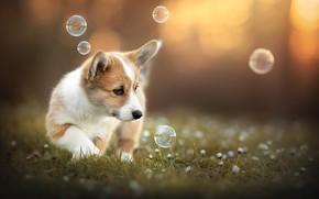 Picture summer, nature, each, dog, Corgi