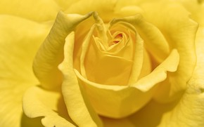 Picture flower, nature, Yellow Rose