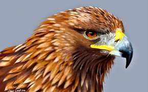Picture head, feathers, beak, Eagle, bird of prey, family:accipitridae