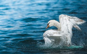 Picture white, water, drops, squirt, background, blue, bird, wings, Swan, pond, stroke, splashing