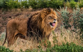 Picture language, grass, look, face, trees, nature, pose, thickets, plants, Leo, mane, is, wild cat