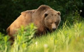 Picture greens, grass, look, face, pose, slope, bear, bear, walk, Kodiak