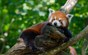 Picture look, face, nature, pose, background, tree, stay, foliage, paws, claws, lies, red Panda, bokeh, red …
