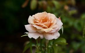 Picture flower, leaves, drops, rose, orange, garden