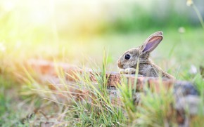 Picture grass, look, light, nature, pose, grey, background, hare, rabbit, bricks, Bunny, ears, bokeh, Peeps, rabbit, …