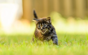 Picture cat, summer, grass, look, nature, pose, kitty, grey, blur, small, baby, muzzle, walk, kitty, striped, …