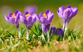 Picture grass, macro, light, flowers, glade, spring, crocuses, lilac
