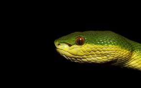 Picture macro, look, face, profile, snake, black background, green