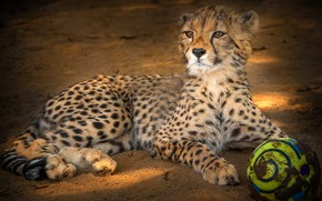 Picture look, face, pose, background, the ball, baby, Cheetah, lies, cub, wild cat