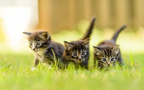 Picture summer, grass, look, nature, pose, the fence, blur, small, kittens, three, walk, kids, company, grey, …