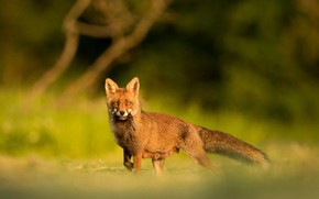 Picture look, nature, background, Fox, mining, nursing mother