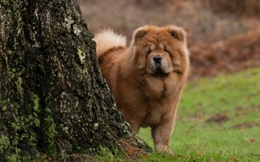 Picture tree, dog, Chow