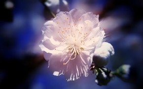 Picture stamens, blurred background, the cherry blossoms