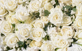 Picture flowers, roses, white, buds