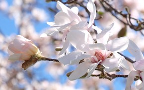 Picture macro, branches, petals, flowering, bokeh, Magnolia