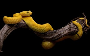 Picture tree, snake, black background, yellow, the scales of a snake
