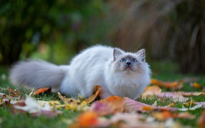 Picture autumn, cat, white, grass, cat, look, leaves, nature, pose, glade, hunting, blue eyes, bokeh, blurred …