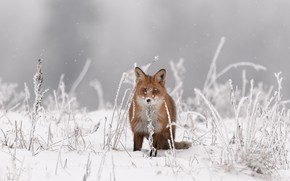 Picture winter, grass, look, snow, background, Fox, red