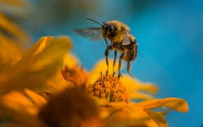 Picture flower, summer, macro, flight, flowers, yellow, bee, pollen, yellow, insect, pollination, blue background, hung, over …