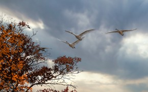 Picture autumn, the sky, clouds, trees, flight, birds, branches, clouds, overcast, foliage, pack, white, swans, flying