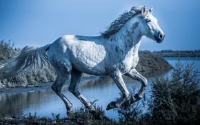 Picture white, the sky, light, horse, shore, horse, white, the bushes, pond, gallop, horse, blue tones