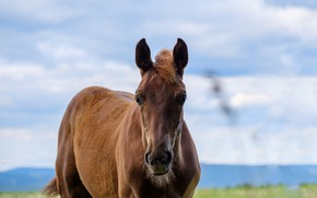 Picture nature, animal, Horse
