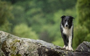 Picture summer, look, drops, nature, green, stones, background, rain, dog, wet, wool, walk, the border collie