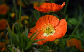 Picture summer, macro, flowers, Maki, orange, bokeh
