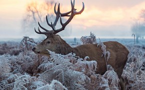 Picture winter, frost, leaves, nature, animal, deer