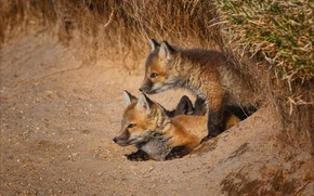Picture Nora, pair, kids, two, Fox, cubs, two Fox