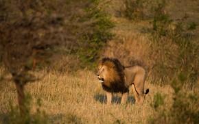 Picture field, grass, look, light, trees, branches, nature, pose, predator, Leo, mane, Savannah, walk, wild cat, ...
