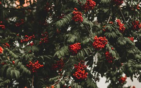 Picture autumn, leaves, branches, berries, the dark background, tree, fruit, red, a lot, Rowan, bunches, bokeh, …