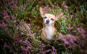 Picture portrait, look, dog, flowers, red, nature, glade, face, dog, thickets, Heather, blurred background