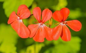 Picture macro, petals, trio, red, scarlet, bokeh, Geranium