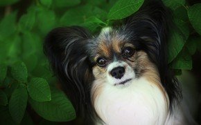 Picture look, face, leaves, close-up, foliage, Bush, portrait, dog, puppy, dog, cutie, green background, Papillon, Papillon