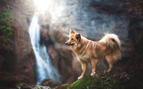 Picture pose, look, stones, dog, nature, waterfall, walk, moss, rocks, branches, autumn, landscape