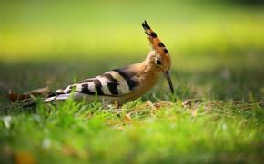 Picture grass, bird, bokeh, hoopoe