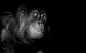 Picture nature, portrait, monkey