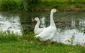 Picture grass, birds, shore, white, pond, goose, geese