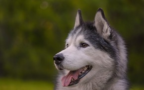 Picture language, face, background, dog, bokeh, Husky