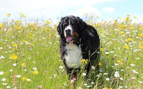 Picture field, language, summer, the sky, look, face, nature, pose, chamomile, dog, meadow, Bernese mountain dog