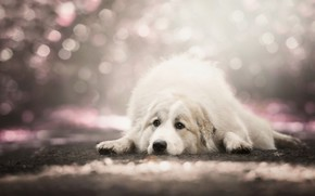 Picture sadness, look, pose, background, dog, lies, white, bokeh