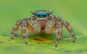 Picture eyes, macro, background, leaf, legs, spider, jumper, jumper, spider, jumping spider, членистоногое