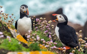 Picture the sky, flowers, birds, nature, stones, two, pair, a couple, Duo, two, Atlantic puffin, stubs