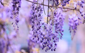 Picture flowers, background, lilac, lilac, bokeh, Wisteria, Wisteria, hanging