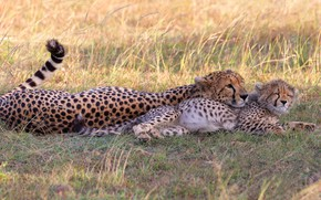 Picture field, grass, kitty, stay, baby, pair, Cheetah, cub, mom, two, lie, cheetahs