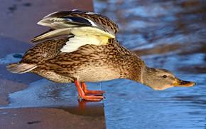 Picture pose, bird, duck, pond