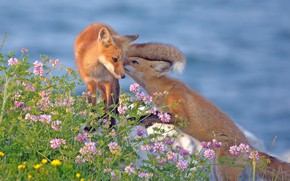Picture flowers, Fox, a couple, cubs