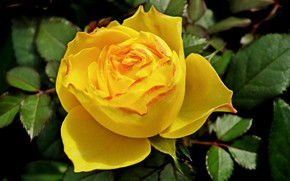Picture leaves, close-up, yellow rose