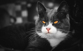 Picture cat, cat, look, face, grey, background, portrait, treatment, smoky, yellow eyes